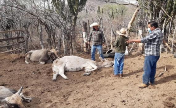 Vacunación del ganado ante la mortandad por enfermedades