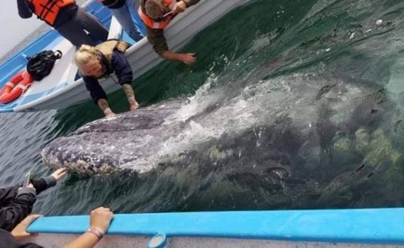 Incierta temporada de avistamiento de ballena gris